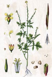Sisymbre officinal (Sisymbrium officinale L.)