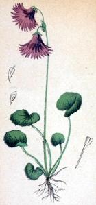 Soldanelle des Alpes (Sodanella alpina L.)