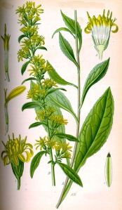 Solidage verge d'or (Solidago virgaurea)
