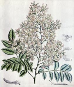 Sophora du Japon (Styphnolobium japonicum)