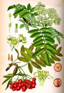 Sorbier des oiseleurs (Sorbus aucuparia L)