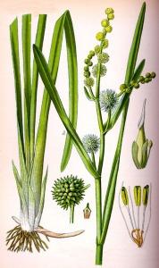 Sparganier dressé (Sparganium erectum L.)
