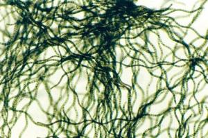 Spiruline (micro algue)