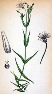 Stellaire holostée (Stellaria holostea L.)