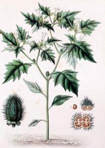 Stramoine (Datura stramonium)