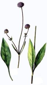 Succise des prés (Scabiosa succisa L.)
