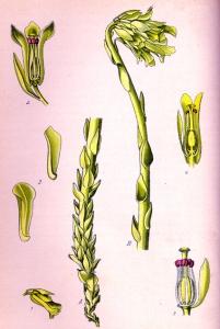 Sucepin (Monotropa hypopitys L.)