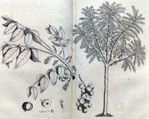 Surelle (Phyllanthus acidus)