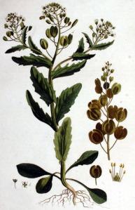 Tabouret des champs (Thlaspi arvense L.)