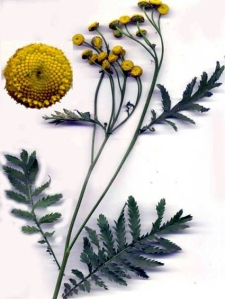 Tanaisie (Tanacetum vulgare L.)