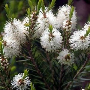 Tea tree (2)