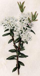 Thé du Labrador (Rhododendron groenlandicum)