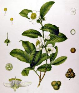 Thé noir (Camellia sinensis)