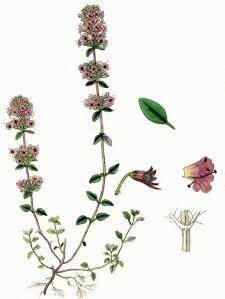 Thym faux pouliot (Thymus pulegoidess)