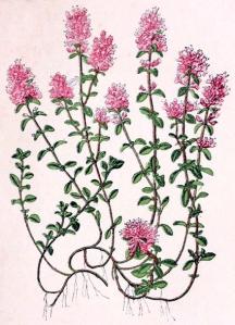 Thym serpolet (Thymus serpyllum)