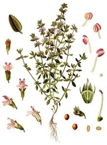 Thym (Thymus vulgaris L.)