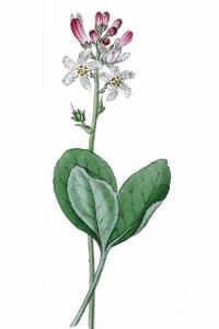 Trèfle d'eau (Menyanthes trifoliata)