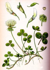 Trèfle rampant (Trifolium repens L.)