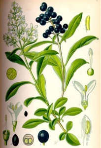 Troène (Ligustrum)