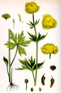 Trolle d'Europe (Trillius europaeus L.)