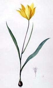 Tulipe sauvage (Tulipa sylvestris L.)
