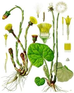 Tussilage (Tussilago farfara)