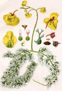 Utricularia_vulgaris_Sturm63