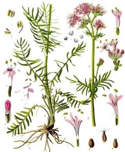 Valériane (Valeriana officinalis L.)