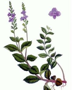 Véronique officinale (Veronica officinalis L.)