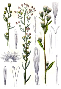 Vergerette (Conyza canadensis)