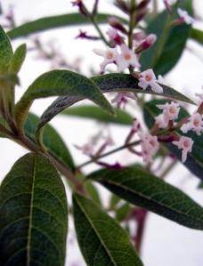Verveine Citronnée (Aloysia citrodora)