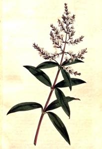 Verveine odorante (Aloysia triphylla)
