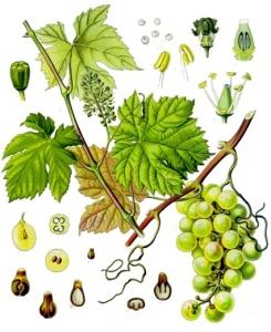 Vigne rouge (Vitis vinifera L.)