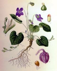 Violette de Rouen (Viola hispida)