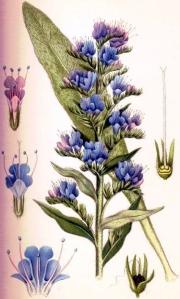 Vipérine vulgaire (Echium vulgare L.)