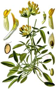 Vulnéraire (Anthyllis vulneraria)