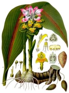 Zédoaire (Curcuma zedoaria)
