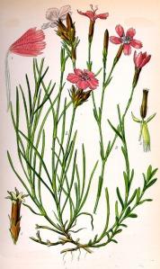 Œillet à delta (Dianthus deltoides L.)