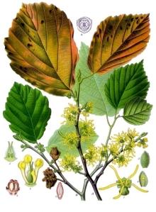 Hamamélis (Hamamelis virginiana L.)