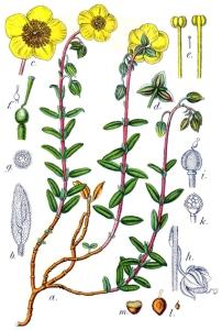Hélianthème commun (Helianthenum nummularium L.)