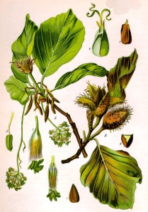Hêtre (Fagus silvatica L.)
