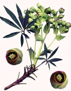 Hellébore fétide (Helleborus foetidus L.)