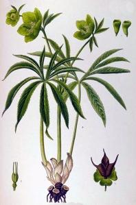 Hellébore vert (Helleborus viridis L.)
