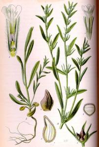 Herbe aux perles (Lithospermum arvense)