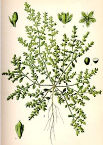 Herniaire (Herniaria glabra)