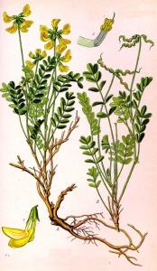 Hippocrépis à toupet (Hippocrepis comosa L.)
