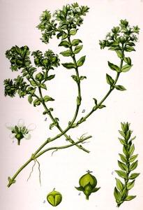 Honckenya faux Pourpier (Honckenya peploides L.)