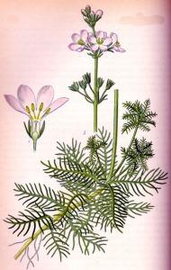 Hottonie des marais (Hottonia palustris L.)