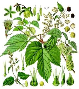 Houblon (Humulus lupulus L.)