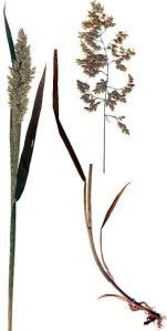 Houque laineuse (Holcus lanatus L.)